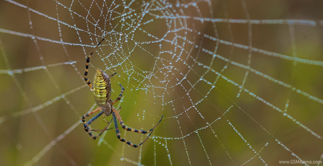 golden orbweaver